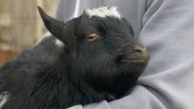 Poppy the Pixie Goat
