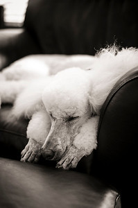 Post-Groomer, 15-Hour Nap Leica M9, 50mm Summilux