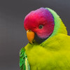 Plum-headed Parakeet-Male