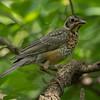 American Robin-Juvenile