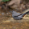 Grey Catbird ll