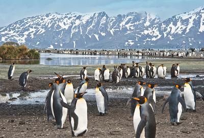SAM 6274   King penguin rookery, South Georgia Island