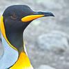 King penguin rookery, South Georgia Island.