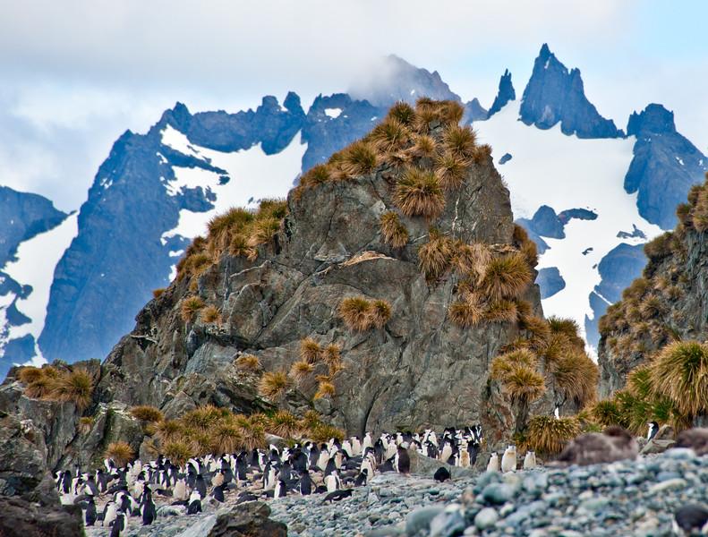 Chin Strap Penguins - South Georgia Island