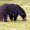 A Sloth Bear appeared along the track where vehicles were parked and ambled away nonchalantly.