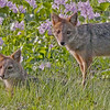 The pair of jackals among the water hyacinths made  a pretty picture.