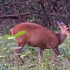Barking Deer (Weli Muwa) who usually disappears quickly stayed for a few moments to take this  shot