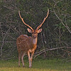 Spotted Deear Male sporting antlers