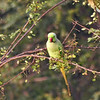 Rose -ringed Parakeet
