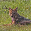 Look at golden backed jackal with its toungue hanging
