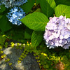 The most beautiful bloom of Hydrangeas I've ever seen.
