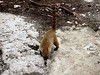 An adult Ring-tailed Coati - or coatimundi - an animal found from Texas to Argentina, and a realtive of the racoon.