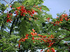 This is a Poinciana tree.