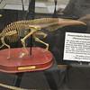 Parasaurolophus Skeleton Model