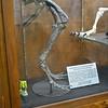 Othnielosaurus Hips and Legs