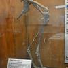 """Zuni Coelurosaur"" Hips and Legs"