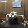 Komodo Dragon Hips and Legs