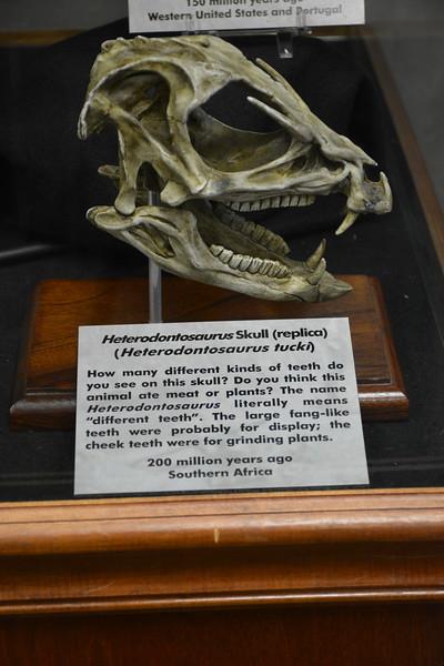 Heterodontosaurus Skull