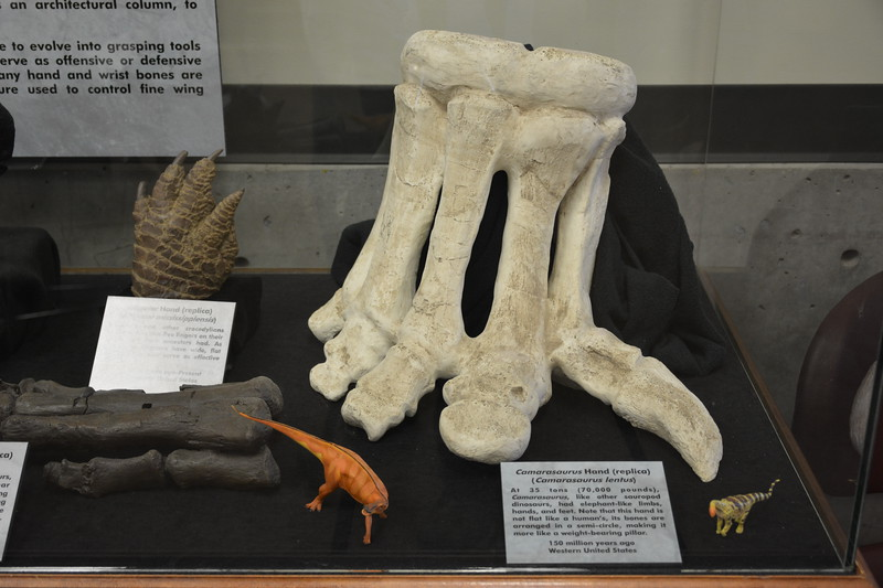 Camarasaurus Hand