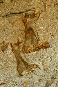 Camarasaurus Femur