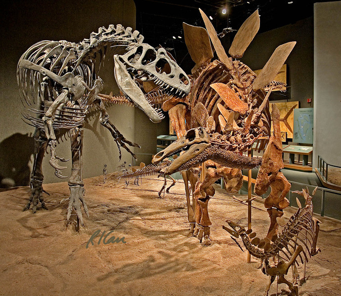Dinosaur skeleton photos: Battle of the dinosaurs 150 million years ago. Allosaurus on left and stegasaurus on right battle it out. Allosaurus fragilis from Moffat County, Colorado and Stegosaurus stenops from Fremont County, Colorado. Baby stegosaurus in foreground, Uintah County, Utah. Denver Museum of Nature and Science, December 2005.