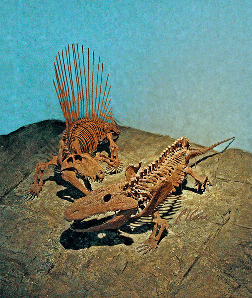 Dinosaur/dinosaur genera: Dimetrodon attacking an Eryops, both living during the Permian period 245-280 million years ago, long before the dinosaurs evolved. Dimetrodon was a mammal-like reptile, an ancestor of mammals, about 11 feet long weighing 500+ pounds, with a large sale-like flap of skin along its back supported by long, bony spines. It had sharp teeth and clawed feet. The Eryops was a common, primitive amphibian living in swamps, a meat eater with stout body and very wide ribs. It was 5 feet long, a large land animal for its time. Museum of Nature and Science, Denver, Colorado 2005.
