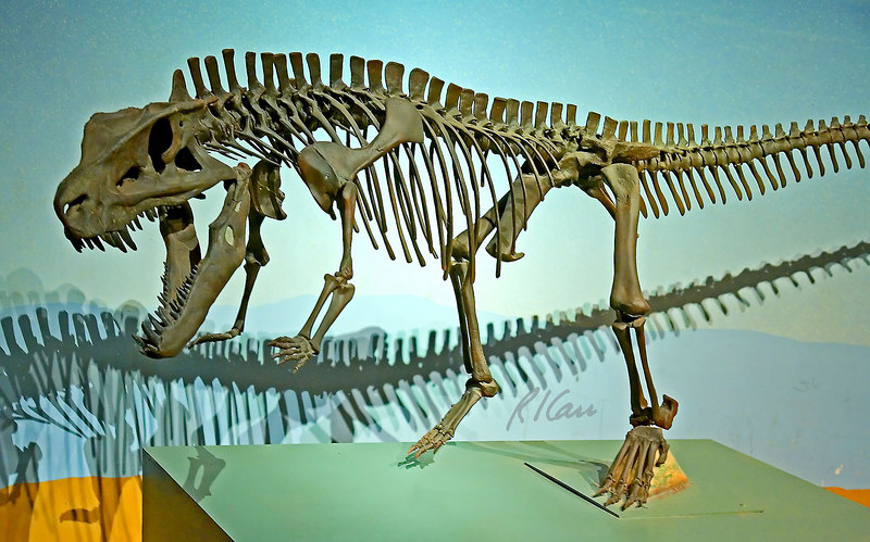 Dinosaur skeleton: An archosaur, postosuchus kirkpatrickii, was a large meat-eating reptile member of the codont group of the late triassic period, 235-208 million years ago, before the dinosaurs. Postosuchus walked on all fours but could walk on its hind legs for short intervals. This is a composite skeleton, constructed from castings of bones from several museums. Los Angeles County Museum of Natural History, Los Angeles, California, January 2006.