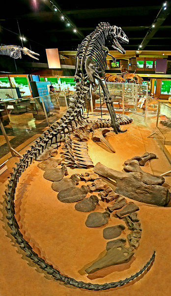 Dinosaur fossil skeletons: Two Jurassic dinosaurs: Allosaurus (standing) was flesh-eating lizard-hipped dinosaur collected east of Cleveland, Utah. Stegosaurus (lying) was vegetarian bird-hipped dinosaur collected at Dinosaur National Monument, Utah, displayed as it might have appeared partially buried in sediments. Exhibit Museum of Natural History, University of Michigan, Ann Arbor, February 2006.