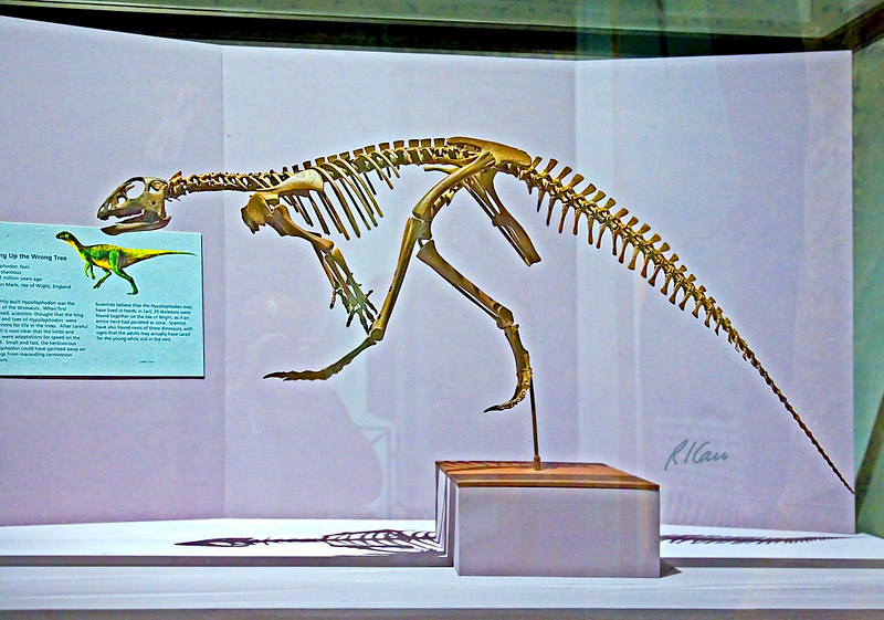 Dinosaur skeleton: Hypsilophodon foxii was lightly built and fast dinosaur of the Early Cretaceous period, 124-113 million years ago. Los Angeles County Museum of Natural History