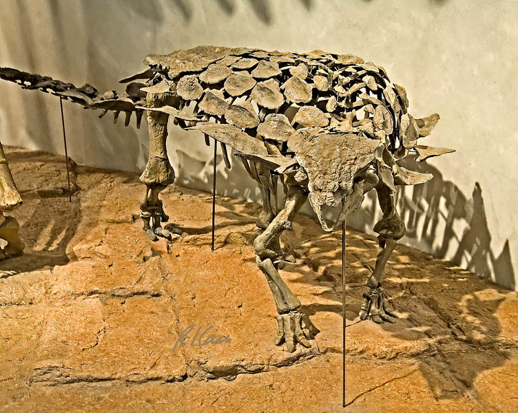 Dinosaur skeleton: Ankylosaur, gargoyleosaurus parkpini, was a heavily armored plant eater living 145 million years ago, in the late Jurassic period. Denver Museum of Nature and Science, December 2005.