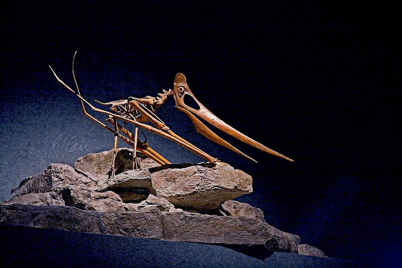 Dinosaur skeleton: Pteranodons were flying reptiles that lived near the sea, catching and eating fish the way sea birds do today. Late Cretaceous Period, 85 million years ago, found in Niobrara Chalk, Lane County, Kansas. Denver Museum of Nature and Science, Denver, Colorado December 2005.