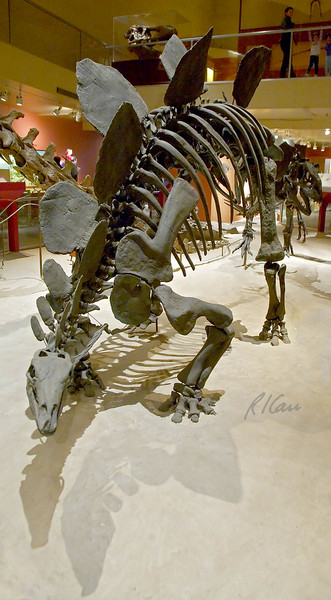 Dinosaurs, prehistoric animals: Stegosaurus stenops lived 120 million years ago, Late Jurassic. 3 - 5 ton plant eating dinosaur lived throughout western North America. Used hornhy beak to crop low-growing plants. Morrison Formation, Albany County, Wyoming. National Museum of Natural History, Washington, DC, November 2006.