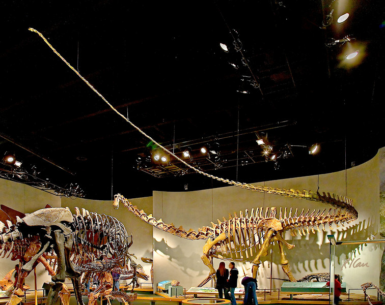 Dinosaur skeleton : Diplodocus tongus, a long-necked dinosaur of the late Jurassic Period, 150 million years ago, from the Morrison Formation, Uinta County, Utah. The diplodocus were sauropods, which were plant eaters and the largest land animals ever, thriving worldwide. Denver Museum of Nature and Science, December 2005.