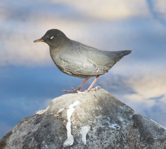 American Dipper Lake Mary  Mammoth Lakes 2016-3.CR2