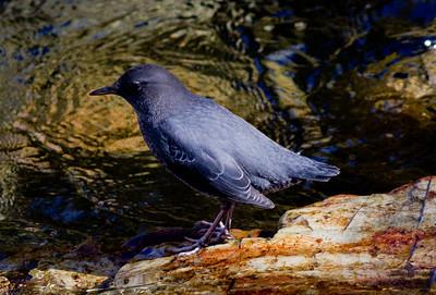 American Dipper  Convick Lake 2011 10 17 (7 of 9).CR2