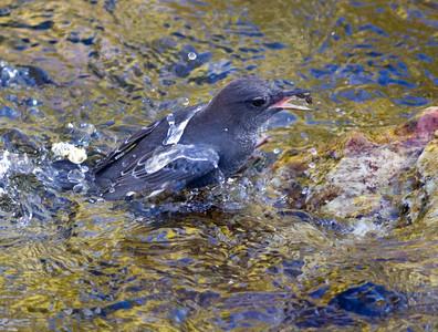 American Dipper  Convick Lake 2011 10 17 (2 of 9).CR2