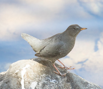 American Dipper Lake Mary  Mammoth Lakes 2016-2.CR2