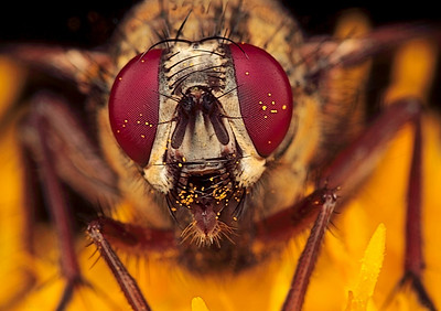 Large fly covered with pollen, made with magnification factor 4 and f/14.