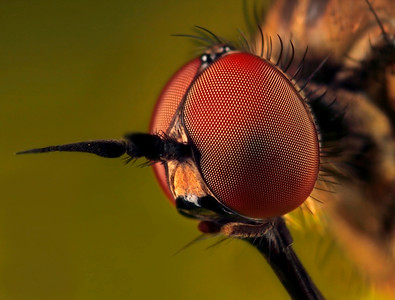 Compound eye large dance fly (Empididae), made with magnification factor 7 and f/9.