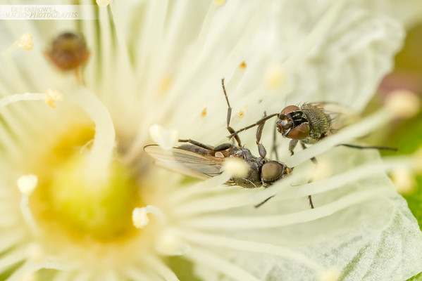 Flies Fighting in Flowers