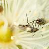 Flies Fighting in Flowers