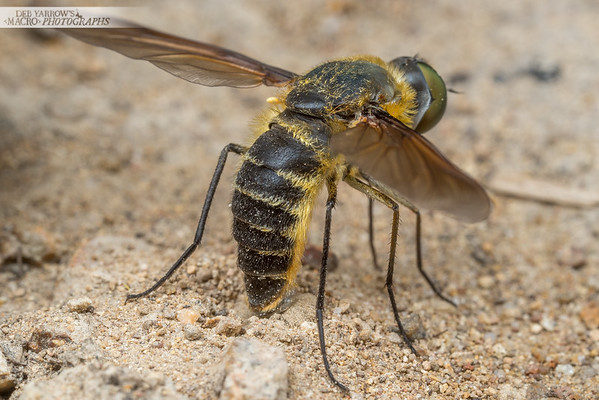 Bee Fly Laying Eggs