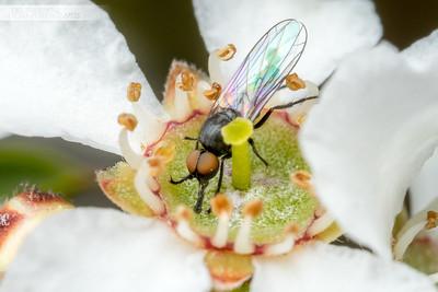 Nectar Fly