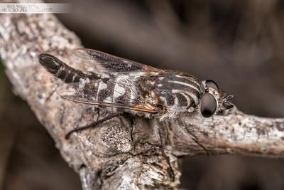 Apiocera Fly
