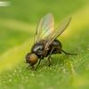 Tiny Leafminer
