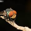 Blue bottle fly rests on a dead stick. They like to do this.