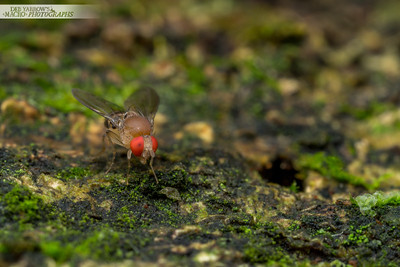 Red-eyed Fly