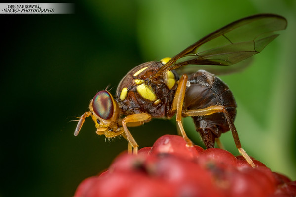 Fruit Fly On Mulberry II