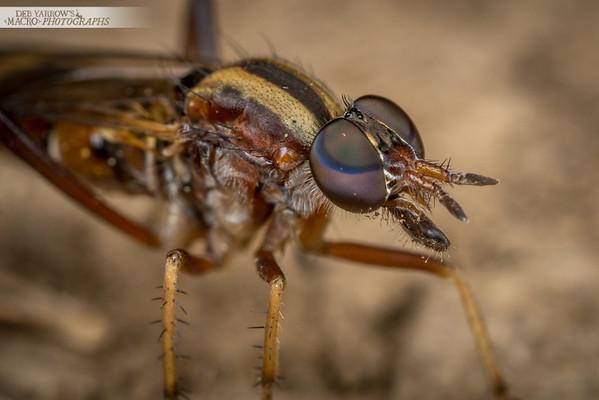 Dirt Faced Fly