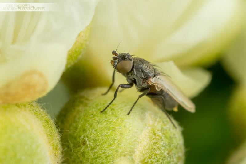 Lemon Myrtle Fly